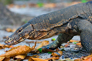 Water monitor (Varanus salvator), foraging, flicking tongue, Thailand - Axel Gomille