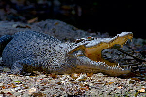 Siamese crocodile (Crocodylus siamensis) mouth open to regulate body temperature when basking. Khao Yai National Park, Thailand. Critically endangered species.  -  Axel Gomille