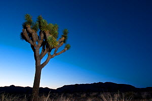 Joshua tree (Yucca brevifolia) at night, Joshua Tree National Park, California, USA, June 2012.  -  Inaki Relanzon