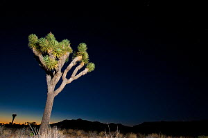 Joshua tree (Yucca brevifolia) at night, Joshua Tree National Park, California, USA, June 2012.  -  Inaki Relanzon,Inaki  Relanzon