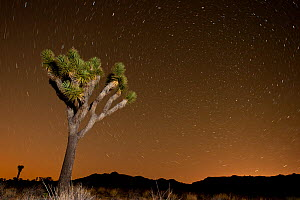 Joshua tree (Yucca brevifolia) at night, with star trails, Joshua Tree National Park, California, USA, June 2012.  -  Inaki Relanzon