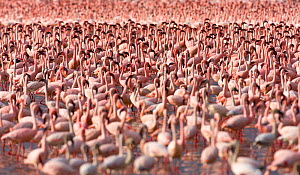Lesser flamingos (Phoeniconaias minor) flock in Lake Bogoria, Rift valley, Kenya  -  Juan  Carlos Munoz