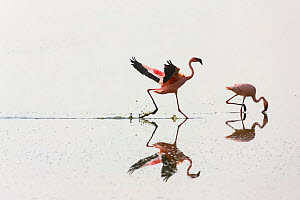 Two Lesser flamingos (Phoeniconaias minor) one feeding the other running, Lake Nakuru NP, Rift Valley, Kenya  -  Juan Carlos Munoz,Juan  Carlos Munoz