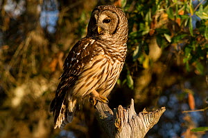 Barred owl (Srtrix varia) perched on broken branch, Myakka City, Florida, USA, January - Lynn M Stone