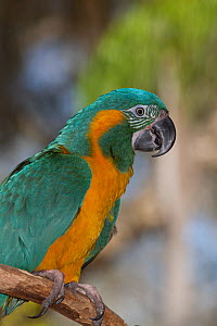 Blue throated macaw (Ara glaucogularis), captive, native and endemic to small area of north central Bolivia, critically endangered  -  Lynn M Stone