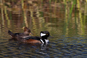 Hooded mergansers (Lophodytes cucullatus), male (foreground) and female, swimming on freshwater pond, Sarasota, Florida, USA, February - Lynn M Stone