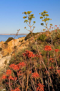 Soap Aloe (Aloe maculata / saponaria) and Giant Fennel (Ferula communis) flowering on a clifftop with the sea in the background.  Algarve, Portugal, June. - Nick Upton