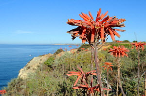 Soap Aloe (Aloe maculata / saponaria) flowering on a clifftop with the sea in the background. Algarve, Portugal, June. - Nick Upton