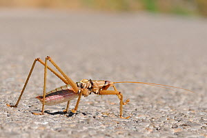 Balkan Sawing Cricket (Saga natoliae), the largest predatory insect in Europe, crossing a mountain road. Samos Greece, July.  -  Nick Upton