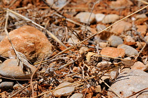 Band-winged Grasshopper (Oedipoda aurea), well camouflaged among dried grasses and stones. Samos, Greece, July.  -  Nick Upton