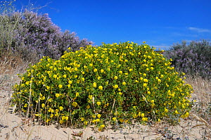 Bushy / Yellow restharrow (Ononis ramosissima / natrix ramosissima) flowering in a large clump among sand dunes with Grand statice (Limoniastrum monopetalum) bushes in the background. Alvor, Algarve,...  -  Nick Upton