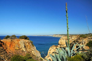Century Plant (Agave americana) growing on cliff edge with flowering spike in bud. Ponta da Piedade, Lagos, Algarve, Portugal, June.  -  Nick Upton