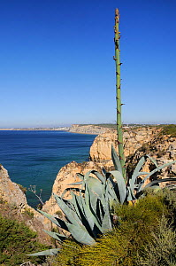 Century plant (Agave americana) growing on cliff edge with flowering spike in bud, Ponta da Piedade, Lagos, Algarve, Portugal, June.  -  Nick Upton