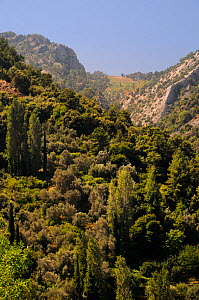 Mountain slopes above Manolates village with a mix of Olive (Olea europaea) and Cypress trees, Samos, Greece, July.  -  Nick Upton