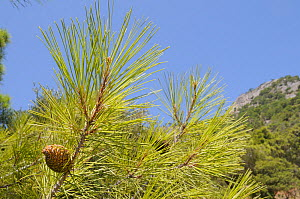 Developing cones of Turkish pine (Pinus brutia). Isle of Samos, Eastern Sporades, Greece, July. - Nick Upton