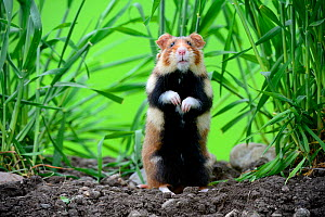 Common hamster (Cricetus cricetus) standing, Alsace, France, captive  -  Eric Baccega