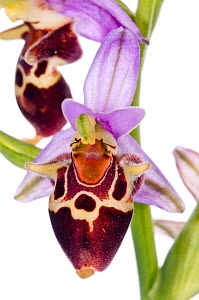 Heldreich's Ophrys (Ophrys heldreichii) in flower, against white background, near Plakias, Crete, May  -  Paul Harcourt Davies,Paul  Harcourt Davies