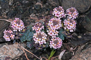 Burnt Candytuft (Aethionema saxatile ssp. creticum) flowering on rocky slope in the mountain zones, Crete, April  -  Paul Harcourt Davies