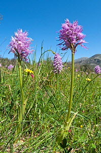 Wavy-leaved monkey orchid (Orchis italica) in flower, Crete, April  -  Paul Harcourt Davies