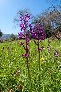 Loose-flowered Orchid (Orchis laxiflora) in flower in grassland, near Kissos Kambos, Crete, April  -  Paul Harcourt Davies