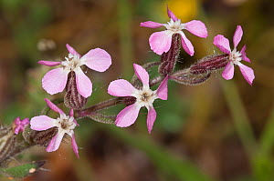 Small-flowered catchfly (Silene gallica) Akrotiri near Chania, Crete, April  -  Paul Harcourt Davies