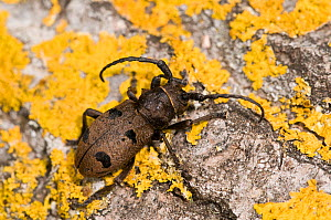 Longhorn beetle (Morimus funereus) on lichen, covered rock, Orvieto, Italy, May - Paul Harcourt Davies