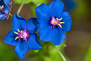 Scarlet Pimpernel (Anagallis foemina) blue form in garden, Orvieto, Italy, May  -  Paul Harcourt Davies