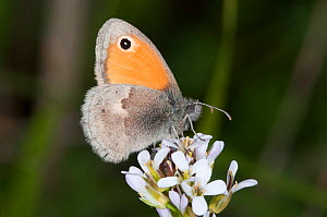 Small Heath butterfly (Coenonympha pamphilus) on flowers, Podere Montecuccco, near Orvieot, Umbria, Italy, May - Paul Harcourt Davies