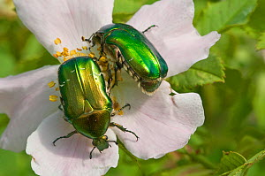 Rose Chafer beetle (Cetonia aurata) feeding on rose flower pollen, Torrealfina, Orvieto, Italy, May - Paul Harcourt Davies