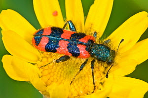 Checkered beetel (Trichodes alvearius) a colourful soldier beetle, Orvieto, Italy, May  -  Paul Harcourt Davies