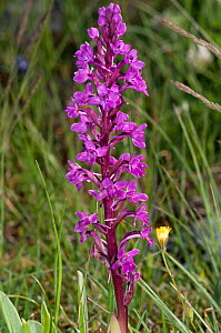Four-spotted orchid (Orchis quadripunctata) near Monte St Angelo, Gargano, Puglia, Italy, May  -  Paul Harcourt Davies
