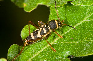 Wasp Beetle (Clytus arietus) a wasp mimic found on tree trunks in sunny places, in garden, near Orvieto, Italy, May - Paul Harcourt Davies