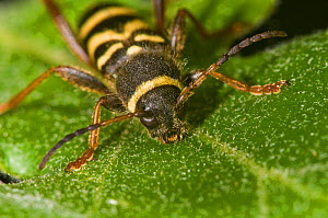 Wasp Beetle (Clytus arietus) a wasp mimic found on tree trunks in sunny places, on oak leaf, in garden, near Orvieto, Italy, May - Paul Harcourt Davies