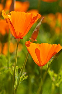 California Poppy (Eschscholzia californica) in a garden, near Orvieto, Umbria, Italy, June  -  Paul Harcourt Davies