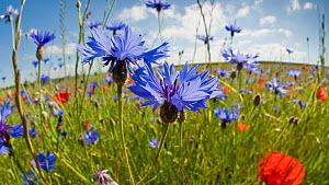 Cornflowers (Centaurea cyanus) growing on fallow fields near Orvieto, Umbria, Italy, June. Taken with fisheye lens  -  Paul Harcourt Davies,Paul  Harcourt Davies