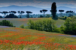 Cornflowers (Centaurea cyanus) and poppies (Papaver rhoeas) growing on fallow fields near Orvieto, Umbria, Italy. June 2010 - Paul  Harcourt Davies