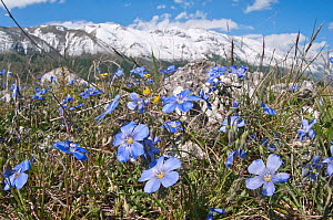 Perennial Flax (Linum narbonsense ) in flower, Gran Sasso, Appennines, Abruzzo, Italy, May  -  Paul Harcourt Davies
