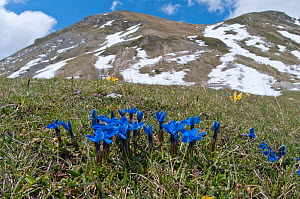 Spring Gentian (Gentiana verna) in flower with snow on mountains in background, Gran Sasso, Appennines, Abruzzo, Italy, June  -  Paul Harcourt Davies
