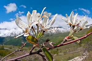 Amelanchier (Amelanchier ovalis) in flower, Gran Sasso, Appennines, Abruzzo, Italy, May  -  Paul Harcourt Davies