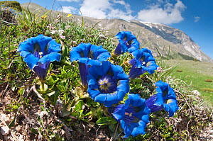 Appennine Trumpet Gentian (Gentiana dinarica) in flower, Mount Vettore, Sibillini, Appennines, Le Marche, Italy, May.  -  Paul Harcourt Davies