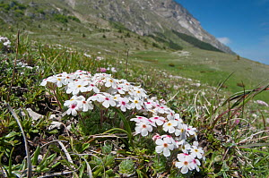 Rock Jasmine (Androsace villosa) in flower, Mount Vettore, Sibillini, Appennines, Le Marche, Italy, May  -  Paul Harcourt Davies