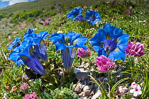 Appennine Trumpet Gentian (Gentiana dinarica) in flower, Mount Vettore, Sibillini, Appennines, Le Marche, Italy, May  -  Paul Harcourt Davies