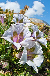 Appennine Trumpet Gentian (Gentiana dinarica) in flower, white form, Mount Vettore,Sibillini, Appennines, Le Marche, Italy, May  -  Paul Harcourt Davies