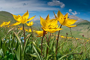 Yellow tulip (Tulipa australis) in flower, above Piano Grande, Sibillini, Appennines, Umbria, Italy, May 2011  -  Paul Harcourt Davies,Paul  Harcourt Davies