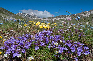 Basil Thyme (Acinos arvensis) with Viola (Viola eugeniae) and Forget-me-nots (Myosotis) Campo Imperatore, Gran Sasso, Appennines, Abruzzo, Italy, May  -  Paul Harcourt Davies