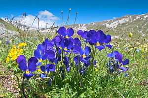 Eugenia's Violet (Viola eugeniaea) in flower, blue form Campo Imperatore, Gran Sasso, Appennines, Abruzzo, Italy, May  -  Paul Harcourt Davies