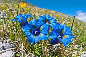 Appennine Trumpet Gentian (Gentiana dinarica) in flower, on roadside below Gran Sasso, Appennines, Abruzzo, Italy, May  -  Paul Harcourt Davies,Paul  Harcourt Davies