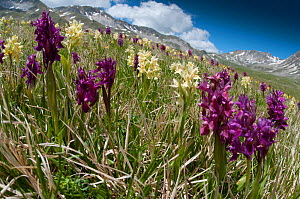 Elder flower orchid (Dactylorhiza sambucina) in flower with two colour forms, Campo Imperatore, Gran Sasso, Appennines, Abruzzo, Italy, May 2011  -  Paul Harcourt Davies