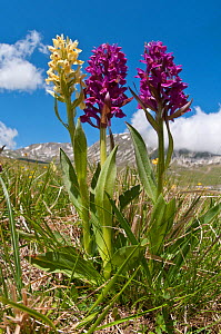 Elder flower orchid (Dactylorhiza sambucina) in flower with two colour forms, Campo Imperatore, Gran Sasso, Appennines, Abruzzo, Italy, May  -  Paul Harcourt Davies