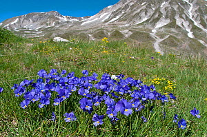 Eugenia's Violet (Viola eugeniaea) in flower, blue form, Campo Imperatore, Gran Sasso, Appennines, Abruzzo, Italy, May 2010 - Paul Harcourt Davies,Paul  Harcourt Davies